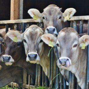 Cows on a cattle farm